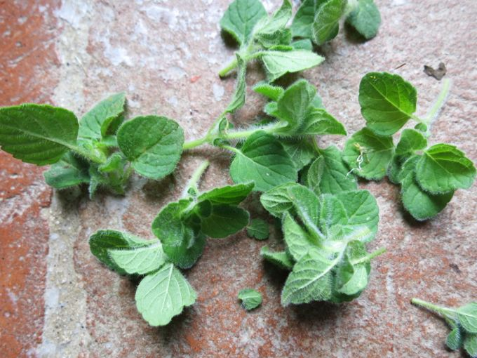 Wild Mint for Beet and Mozzarella Salad
