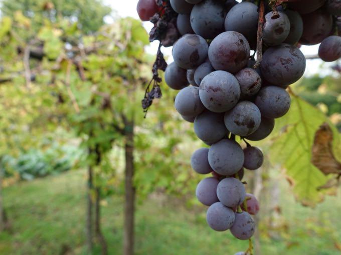 Grapes, Elizabeth Minchilli In Rome